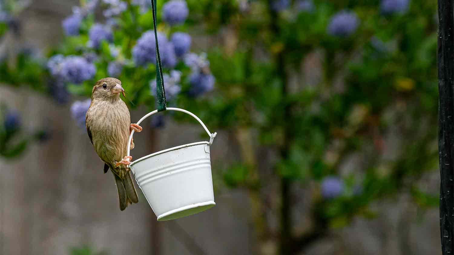 A bird taking an insect out of a small hanging bucket